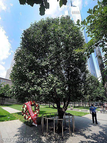 The original 'Survivor Tree, in lower Manhattan.